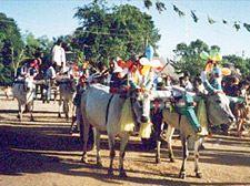 Pongal Cattle Race
